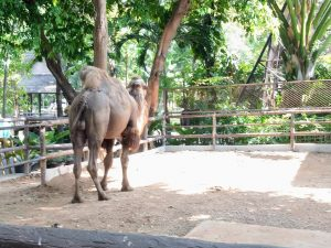 camel sighting at dusit zoo